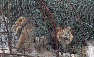 Trois lions ont été sauvés d'un zoo privé situé en Albanie, dimanche 28 octobre.