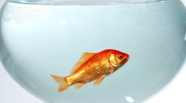 Les boules aquariums une prison pour les poissons rouges for Bocal poisson rouge