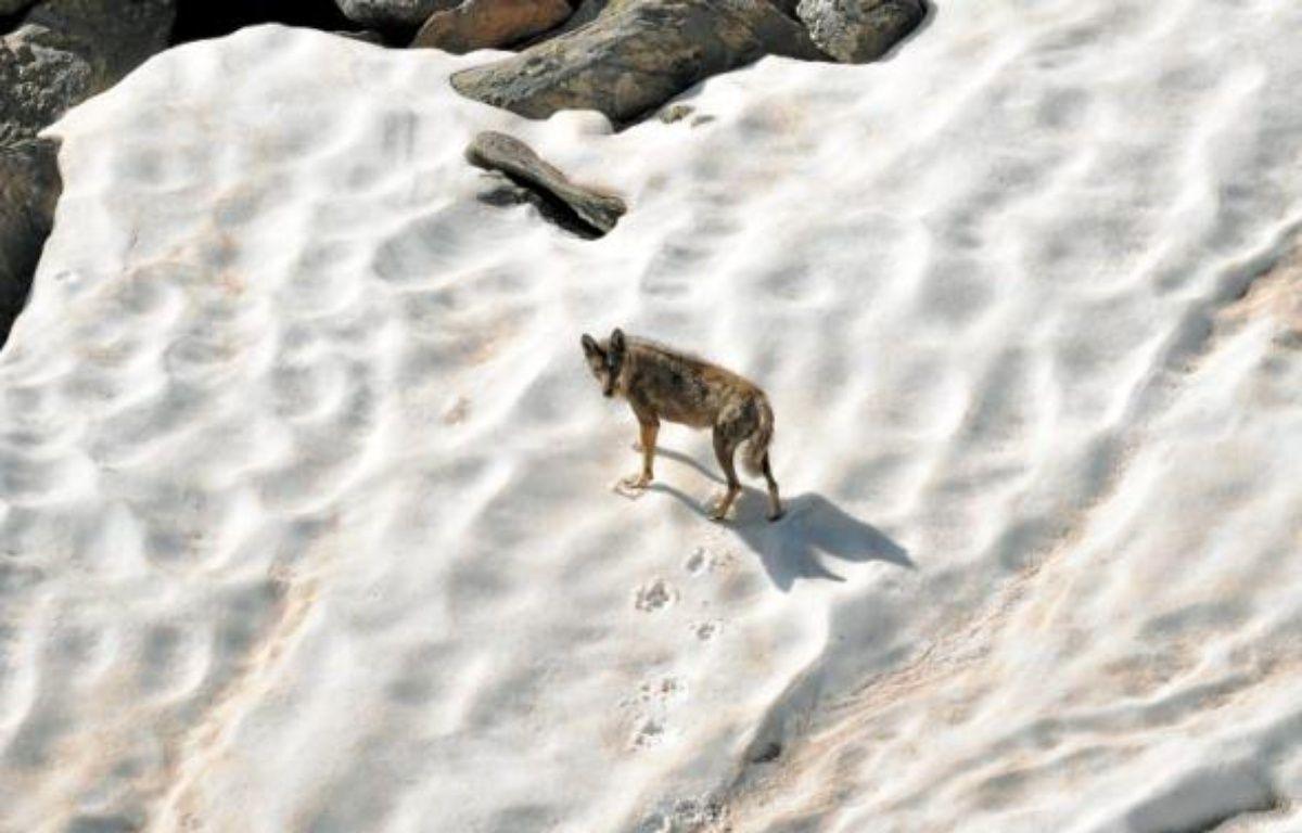 Après avoir disparu du territoire français dans les années 30, le loup est réapparu dans le Mercantour en 1992. –  JacQues Blanc / PARC NATIONAL DU MERCANTOUR