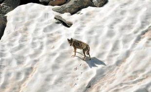 Après avoir disparu du territoire français dans les années 30, le loup est réapparu dans le Mercantour en 1992.