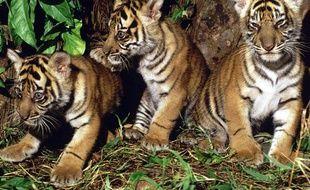Trois petits tigres de Sumatra, en Indonésie.