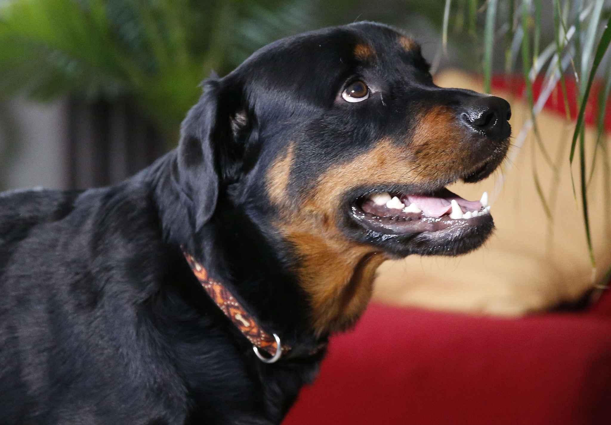 les chiens comme les humains sont capables de distinguer mots et intonations. Black Bedroom Furniture Sets. Home Design Ideas
