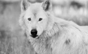 """""""La louve s'était calmée, elle avait posé la tête sur sa patte et semblait m'écouter attentivement."""""""