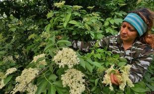 De mai à juin, la Roumanie se couvre de fleurs blanches de sureau. Utilisées pour une boisson locale très prisée, la socata, elles entrent aussi dans la composition de sodas vendus en Grande-Bretagne ou au Japon, un stimulant bienvenu pour l'économie rurale.