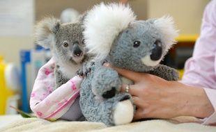 Un koala australien se console d'avoir perdu sa mère avec une peluche à l'effigie du marsupial.