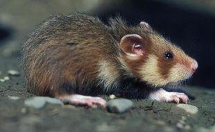 Un grand hamster d'Alsace sortant de son terrier près de Blaesheim dans le Bas-Rhin.