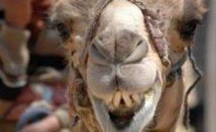 Plus de 10.000 chameaux des six monarchies pétrolières du Golfe sont en lice cette semaine pour un concours de beauté dans le désert d'Abou Dhabi, doté de prix d'un montant total de 35 millions de dirhams (9,5 millions de dollars.