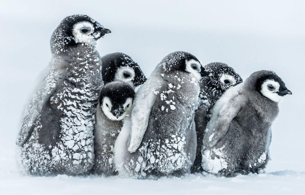 Des bébés manchots empereurs en Antarctique. – Gunter Riehle/Solent/SIPA