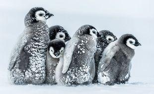 Des bébés manchots empereurs en Antarctique.