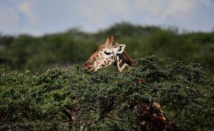 Le 18e sommet de la Cites, la Convention internationale sur les espèces de faune et de flore sauvages, se tient jusqu'au 28 août à Genève, et pourrait acter de nouvelles mesures de protection pour les girafes.