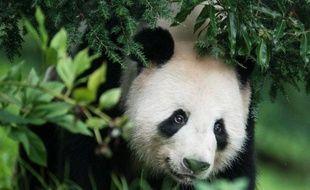Quatre mois après avoir été inséminée artificiellement, Tian Tian, la femelle panda du zoo d'Edimbourg, pourrait être enceinte, ont fait savoir vendredi ses gardiens qui ont constaté qu'elle avait perdu son appétit, qu'elle était de mauvaise humeur et de plus en plus casanière