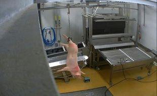 Animaux: nouvelle vidéo choquante dans un abattoir