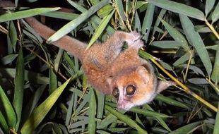 Des biologistes allemands ont identifié dans les forêts de Madagascar deux nouvelles espèces de lémuriens du genre Microcèbe, qui regroupe les plus petites espèces de primates du monde et aussi parmi les plus menacées.