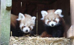 Les deux pandas roux du zoo de Pessac vont avoir trois mois dans quelques jours.