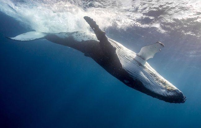 La baleine à bosse est menacée de disparition dans l'Atlantique nord.