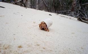 La photo publiée sur Reddit par «HSmidt» d'un bernard l'hermite ayant adopté un bouchon de tube de dentifrice comme coquille.