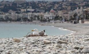 Ce goéland a profité d'un calme inhabituel sur la promenade des Anglais pour y couver ses œufs