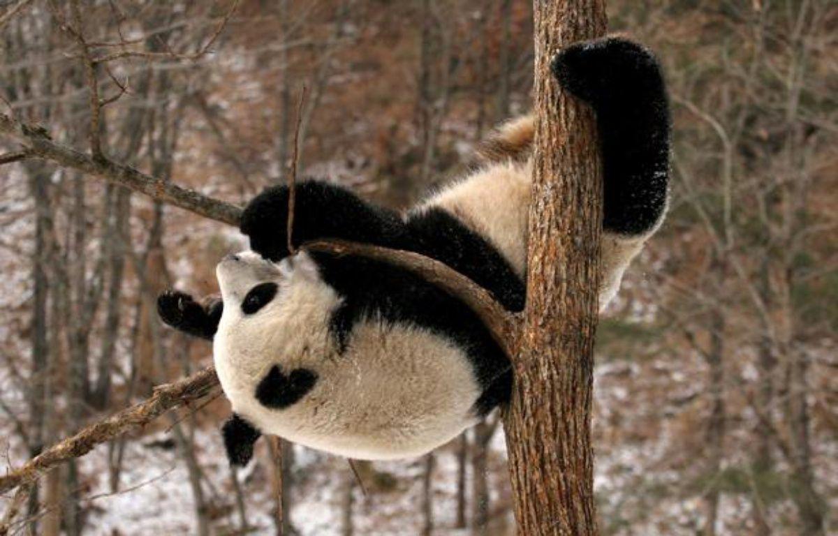 Un panda de la base de Qinling, en Chine. – ZHAO JIANQIANG/CHINE NOUVELLE/SIPA