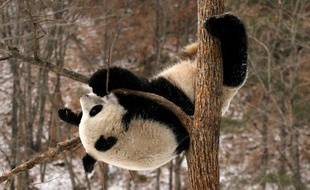 Un panda de la base de Qinling, en Chine.