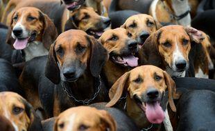 Illustration de chiens de chasse ici lors d'une manifestation à Redon, en Ille-et-Vilaine.