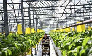 Des plantations de fraises, à Saint-Pryve-Saint-Mesmin (image d'illustration).