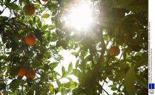 Illustration d'un oranger.