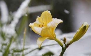 Une fleur sous la neige. (Illustration).