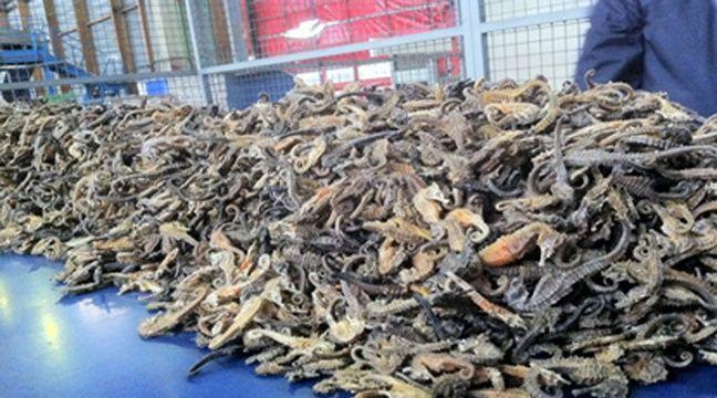 Pérou  Des millions d'hippocampes morts retrouvés sur un navire de braconneurs