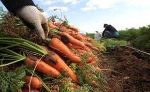 Illustration de carottes posées dans un champ lors d'une récolte.