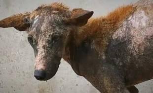 L'un des animaux errants de Silk Island, au Cambodge.