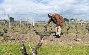 Vignes affectées par le gel à Saint-Émilion (Gironde)