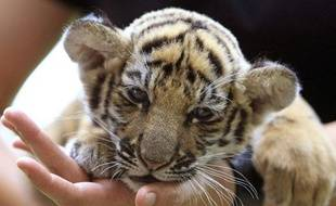Un bébé tigre. Illustration.