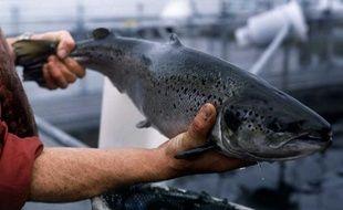 Un saumon d'élevage en Ecosse.
