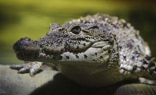 Crocodile, illustration.