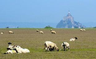 Au pied du Mont-Saint-Michel, les agneaux ont la belle vie.