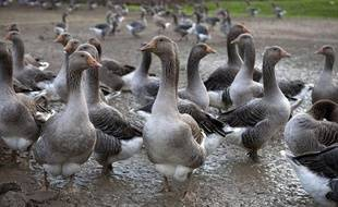 Une ferme d'oies destinées à la fabrication du foie gras, dans le Gers.