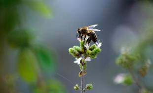 Les abeilles osmies travaillent mieux que les mellifères (illustration).