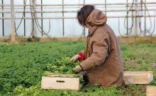 Illustration d'une agricultrice cueillant de la mâche, ici près de Rennes.