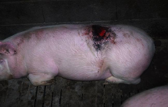 L214 publie une nouvelle vidéo-choc d'un élevage de porcs