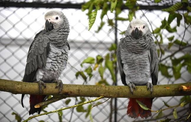 Des perroquets gris.