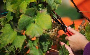 Sur les 1.100 variétés de raisins de cuve cultivées, 12 occupent  environ 45% du vignoble dans le monde.