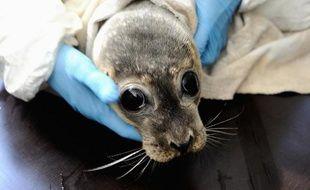 Des phoques innocents, des pêcheurs en colère, BB indignée: il ne s'agit pas d'une reprise du feuilleton des années 1970/80 au Canada, mais d'une polémique toute fraîche sur le retour du mammifère en baie de Somme et sur la côte d'Opale.