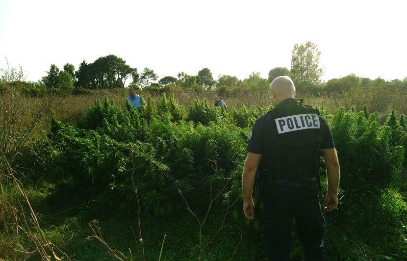 Toulouse : 1.200 pieds de cannabis découverts dans un champ, pour une valeur estimée à un million d'euros
