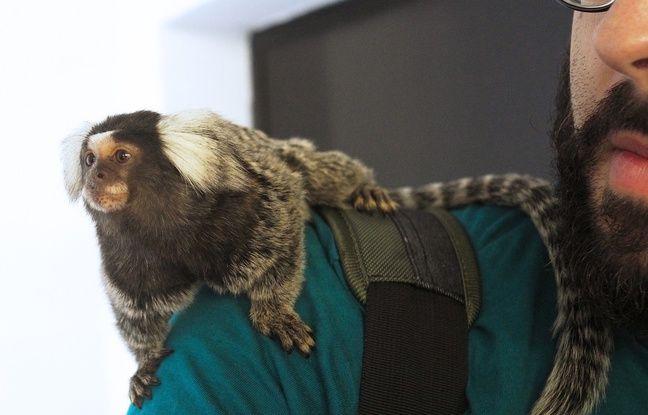 Les petits primates se sentent vite à leur aise sur un coin d'épaule