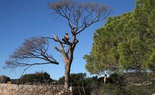 Le pin de la plage de Palombaggia en train d'être coupé ce mercredi.