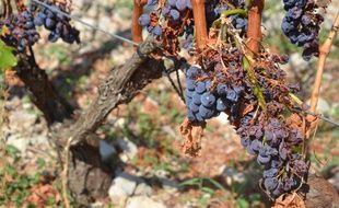 Une grappe de raisins impactée par la grêle, au Pic Saint Loup.