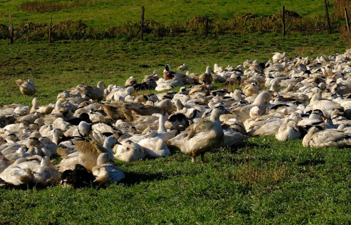 Les élevages concernés sont placés sous surveillance sanitaire.  – ERIC CABANIS / AFP