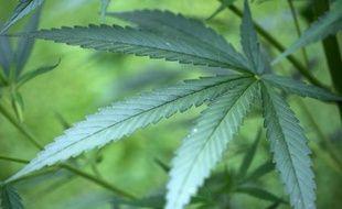 Des plants de cannabis dans un jardin de Cologne, le 15 juillet 2014