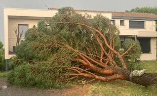 Un arbre couché après les violents orages survenus le 17 juin en Haute-Garonne, dans le secteur de Verfeil.