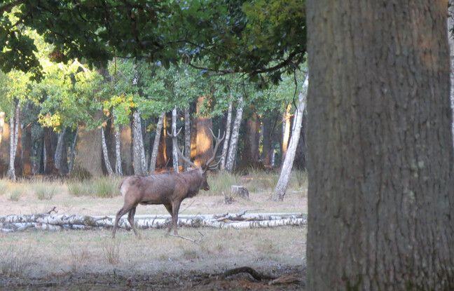 Un cerf dans la forêt sauvage de l'Espace Rambouillet en pleine saison des amours.